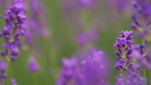 Lavendel. wachsende Lavendelblüte Nahaufnahme. Lavendelfeld.