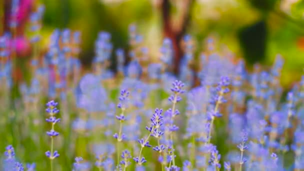 Lavendel. Wachsenden Lavendel Blume Closeup. Bereich der Lavendel.