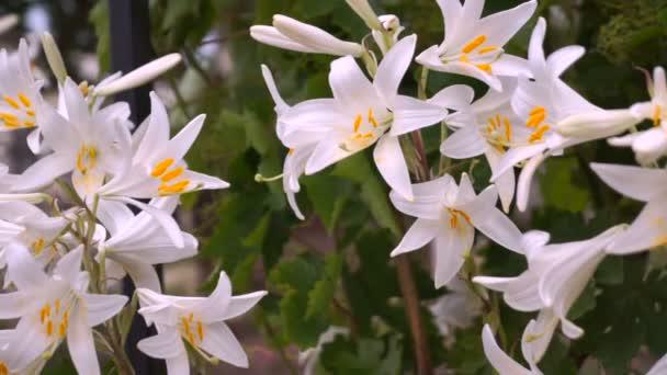 Blooming white lily flower buds (Lilium Samur). Close up, macro.