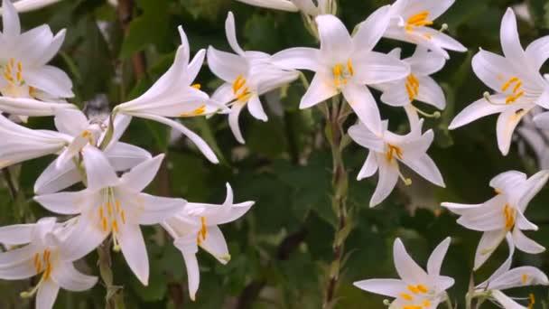 Kvetoucí poupat bílé lilie (Lilium Samur). Zblizka, makro