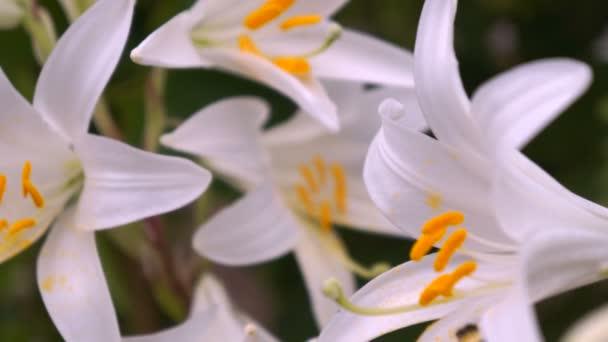 Virágzó fehér liliom virág bimbók (Lilium sza). Makró közelről.