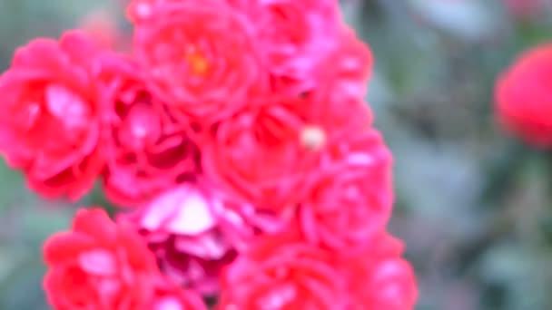 Ez egy gyönyörű természetes videó a virágok, a rózsakert.