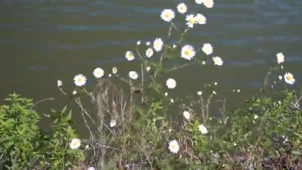 Chamomile flowers close up. Nature of summer, flower fields of water background.