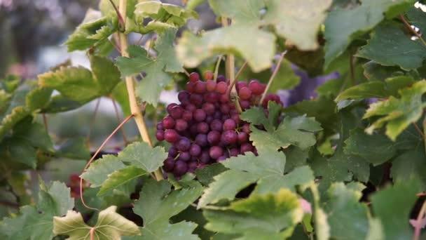 Szőlőfürtök vörös szőlőben lóg