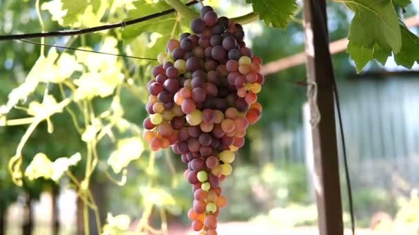 Visící hrozny zelené vinné révy na vinici