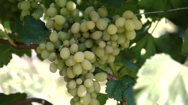 Visící hrozny zelené vinné révy na vinici.