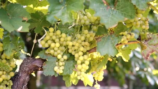 Hanging bunches of green wine grapes in vineyard.
