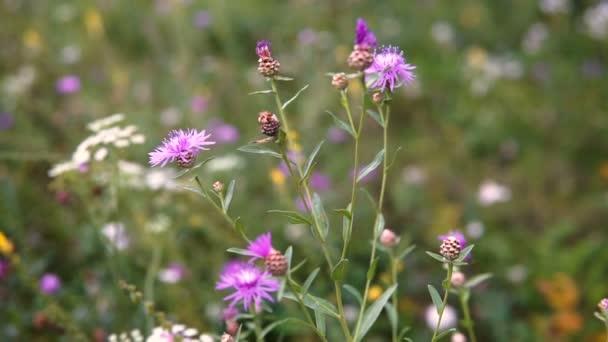 beautiful flower field blue flowers swaying