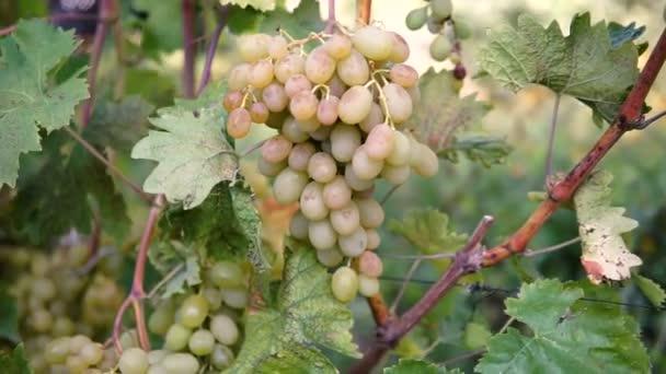 Lógó zöld szőlő csokrok