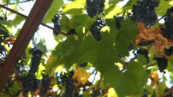 Ripe Vineyard Grapes. Grapes Vineyard Sunset. Ripe Grapes On The Vine For Making White Wine.