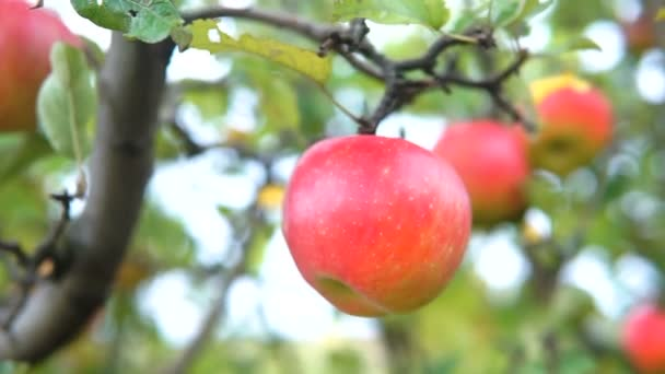 Apple trees with red apples. Gimbal shooting.