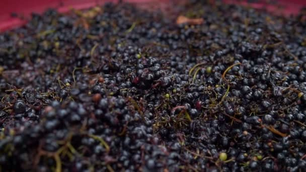 The huge reservoir of ripe juicy grapes for red wine. Steadicam shoot.