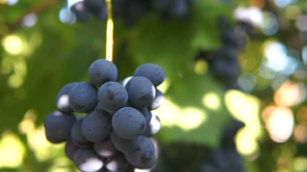 Trauben von schweren, reifen, dunkelvioletten Weintrauben, die in Reihen auf dem Weingut wachsen, grüne und rote Blätter. Gimbal Chooting.