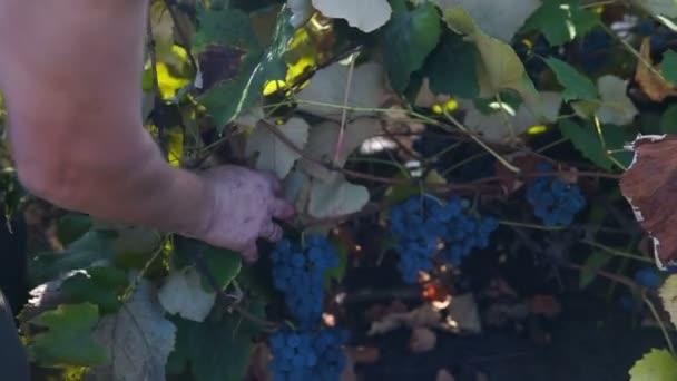 Szüreti. Polárszűrő az emberi kéz összegyűjtése szőlő