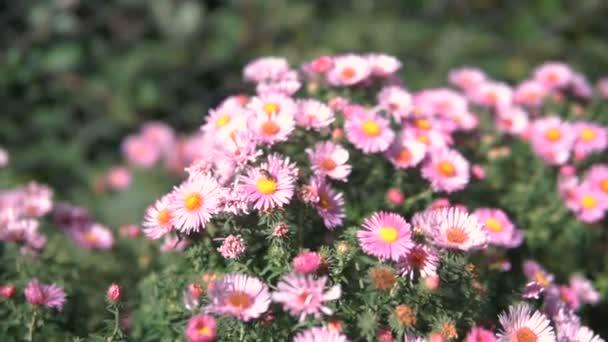 Lila virágok az olasz őszirózsák őszi Aster, lila virág nő a kertben. Steadicamnél lövés.