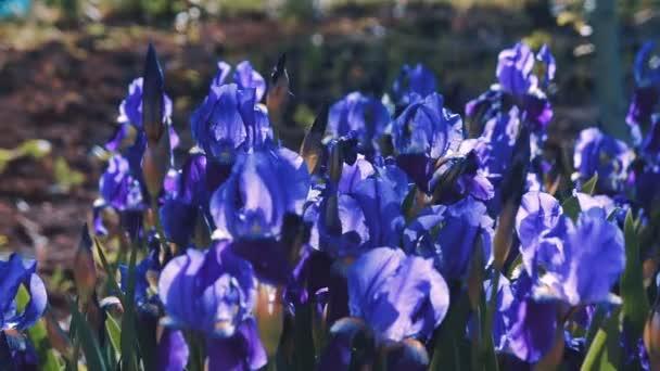 Purple Iris germanica flower plant in spring garden