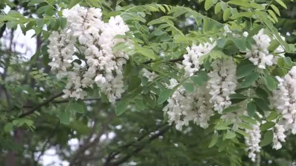 Bílé květy na jaře na akátu. Přírodní remedi