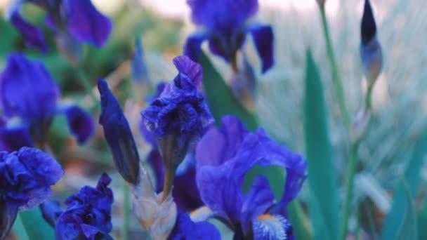 Purple Iris flower plant