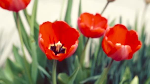 Červené tulipány na zahradě. Jarní květiny.