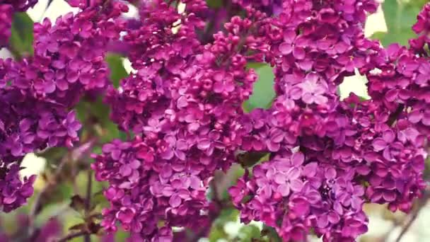 Lila fialové květy strom, přírodní sezónní jarní květinové makro