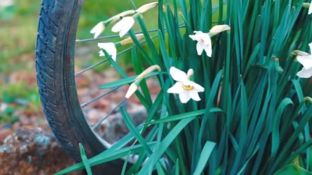 White daffodils. Spring booming flowers with morning light in the garden.