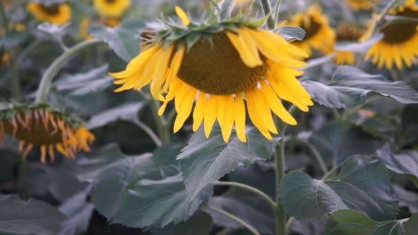 pole slunečnic, slunečnice close-up
