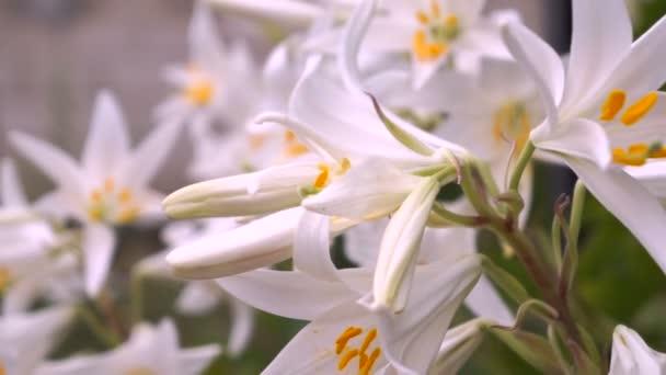 Kvetoucí poupat bílé lilie (Lilium Samur). Zblizka, makro.