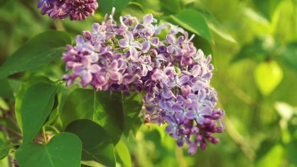 Lila lila virágok fa, természetes szezonális tavasz virágos makró