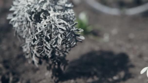 Closeup Sněženka jarní květiny v přírodě. Galanthus Nivalis rostlin v přírodě ve větrném počasí.