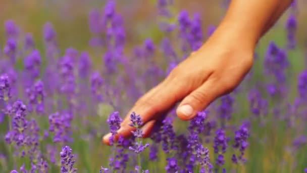 Detail ženská ruka přes slunné levandulová pole. Dívčí ruka se dotýká closeup květy fialové levandule