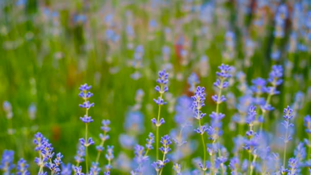 Levandule. Pěstování levandule květ closeup. Pole levandule