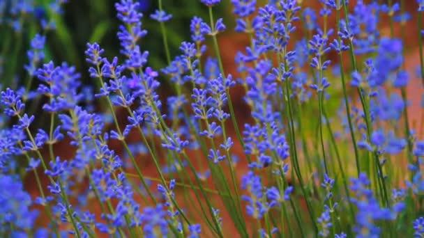 Levandule. Pěstování levandule květ closeup. Pole levandule.