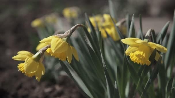 Közelről sárga Daffodil Narcissus virág a kertben