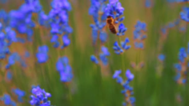 Honey been on lavender Field of lavender.