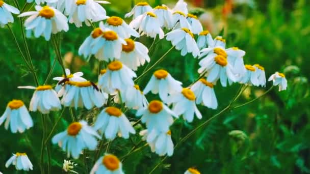 Summer Morning Over Chamomile Field. The ox-eye daisy is widely cultivated and available as a perennial flowering ornamental plant