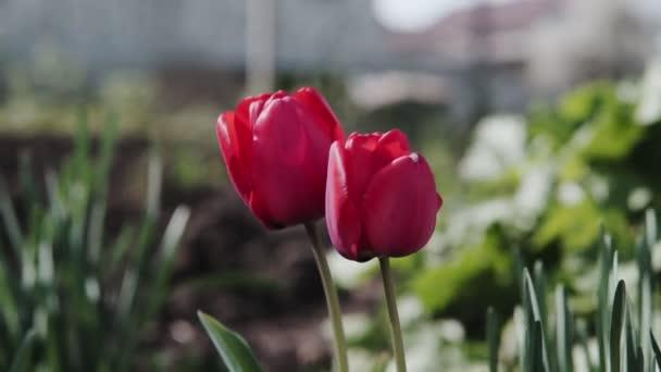 Szép piros tulipán egy napsütéses napon, piros tulipán virágok virágzó kert, csoport piros tulipánok a parkban. Tavaszi táj, piros tulipán háttér.