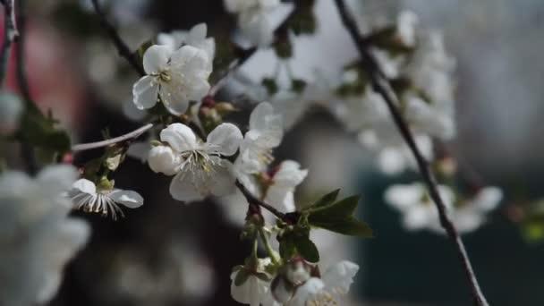 Bílé květy Květy na větvích třešňového stromu. Jarní koncept.