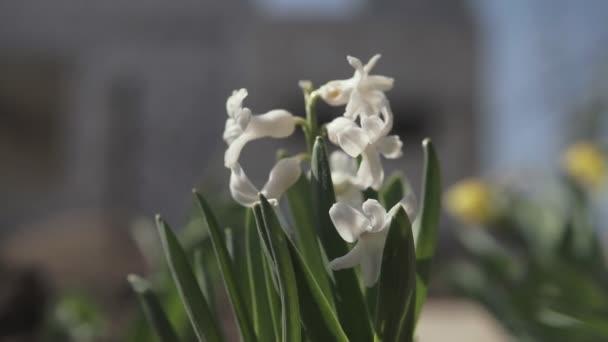Színes illatos virágzás Jácint növények. Közeli a holland Hyacinth színes tavaszi virágok