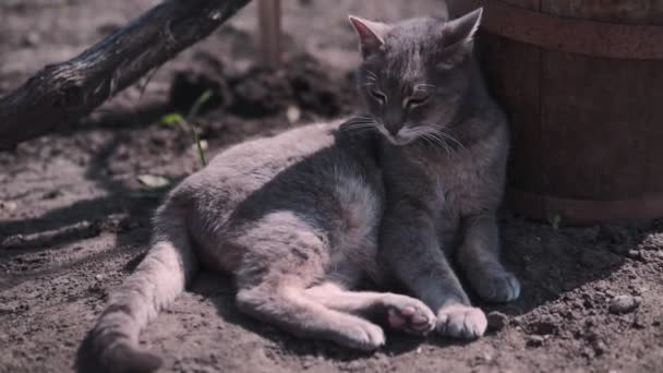 Vicces szürke macska ül gardenand Tan a nap. Ez meowing és forgató fej.
