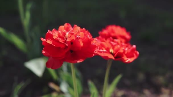 Felvételeit gyönyörű színes vörös tulipán virágok nyílnak tavasszal kertben. Dekoratív virág virágzik tavasszal. Szépsége, élénk színek