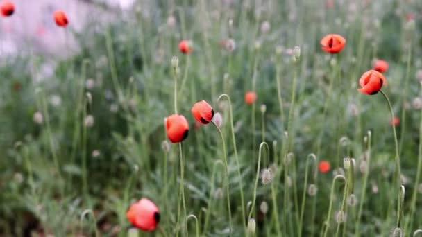 Piros pipacs mező. Mák virág mező. Mák virág imbolygott, csapkodott a szélben.