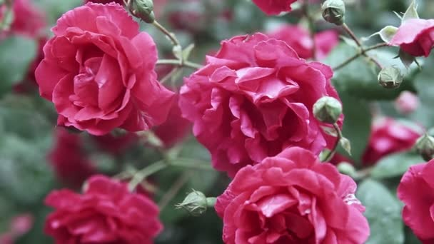 Beautiful pink roses blossom in rose garden