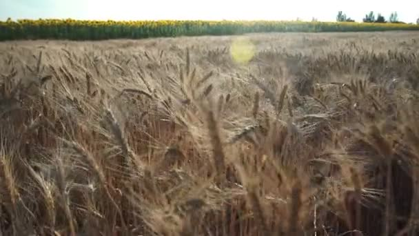 Wheat field. Golden ears of wheat on the field. Background of ripening ears of meadow wheat field. Rich harvest Concept