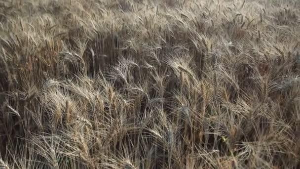 Wheat field. Golden ears of wheat on the field. Background of ripening ears of meadow wheat field. Rich harvest Concept