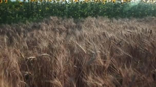 Búza mező. Golden fül a mező a búza. Az érés fül a Réti Búzamező háttér. Gazdag termés koncepció