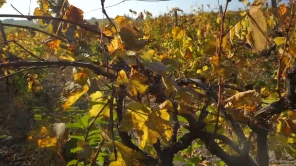 Podzimní vinice. Žluté oranžové červené listy na révových rostlinách ve vineru. Střela Steadicam.