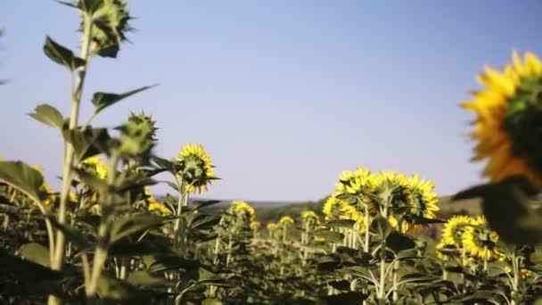 Napraforgó mező. Élénk napraforgó mező közelről sok sárga virágokkal, nyáron a panorama.