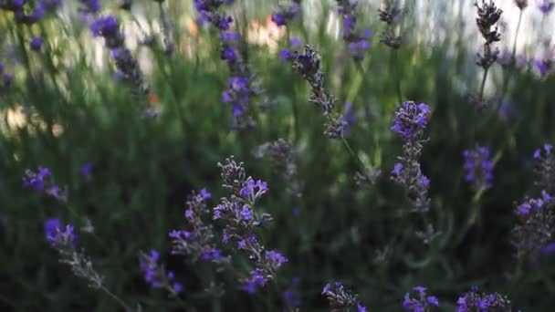 Virágzó levendula bokrok a pályán. Közelkép.