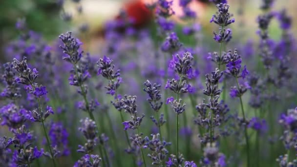 Bushes of flowering lavender on the field. Close-up.