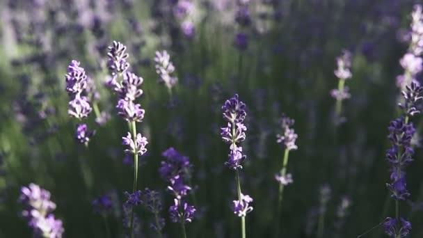 Blühende Lavendelbüsche auf dem Feld. Nahaufnahme.